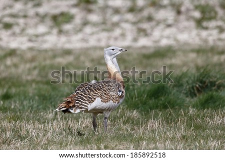 Great bustard, Otis tarda, single male on grass, Released birds in Wiltshire, March 2014