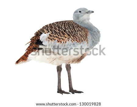 Great Bustard, the largest bird of southern and central Europe, isolated on white
