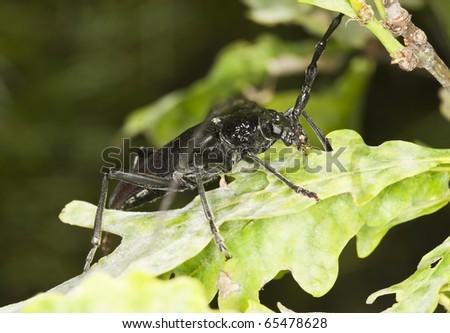 Great capricorn beetle (Cerambyx cerdo) - stock photo