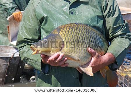 Great catch of fisherman, carp fish - stock photo