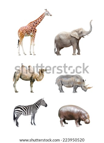 Great collection of big african mammals. Giraffe, elephant, camel, rhinoceros,  hippopotamus and zebra isolated on a white background. - stock photo
