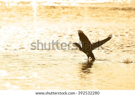 Great cormorant being about to fly at sunset.