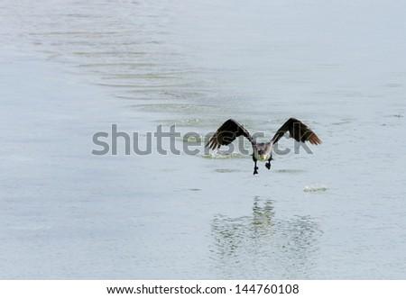 Great Cormorant hopping to fly - stock photo