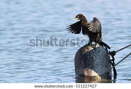 Great Cormorant, Phalacrocorax carbo, Black cormorant lets its wings dry in the sun at Danube river in Zemun, Belgrade, Serbia. This is characteristic behaviour for a cormorant.