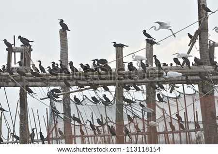 Great Cormorant resting after fishing - stock photo