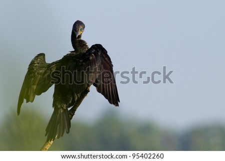 Great Cormorant  resting on a perch