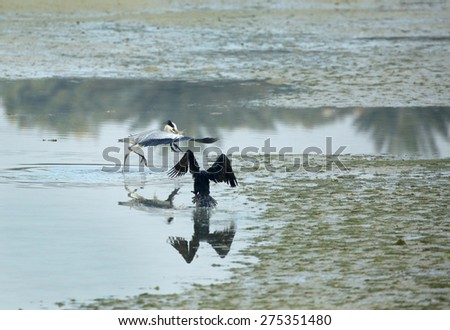 Great Cormorant running after Grey Heron - stock photo