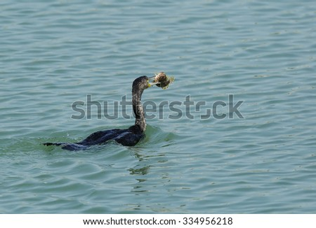 Great Cormorant with a catch