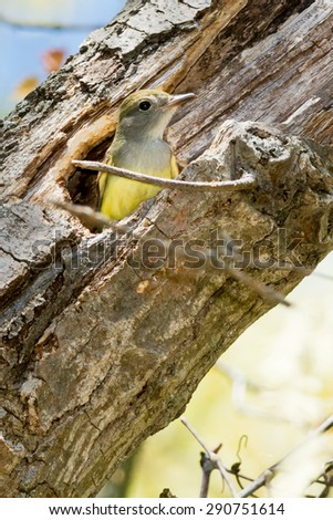 Great-crested Flycatcher looking out of her nest hole in a hollow tree. - stock photo