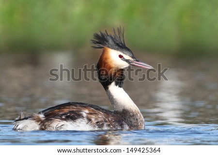 Great Crested Grebe - stock photo