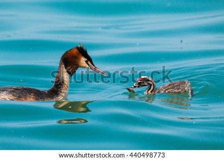 great crested grebe chicks have parietal care