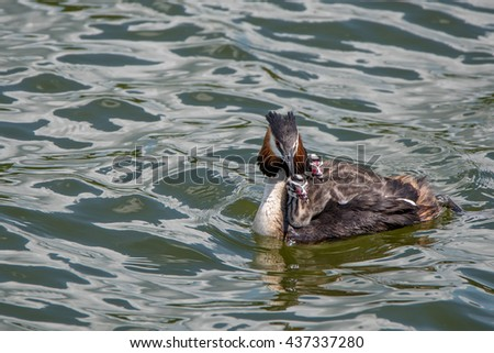 Great crested grebe or Podiceps cristatus with nestlings on the water - stock photo