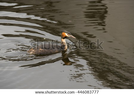 Great Crested Grebe (Podiceps cristatus) swimming in water with reflections