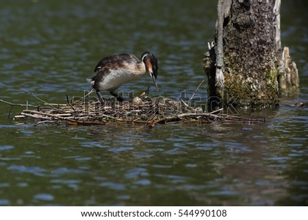 Great Crested Grebe (Podiceps cristatus) turning eggs in the nest.