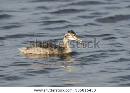 Great Crested Grebe (Podiceps cristatus) with a fish as prey in it's beak
