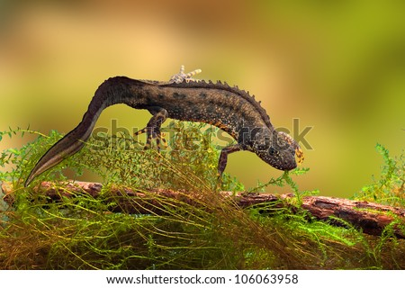 great crested newt or water dragon in fresh water pond endangered and protected species. Nature conservation animal,breeding male - stock photo