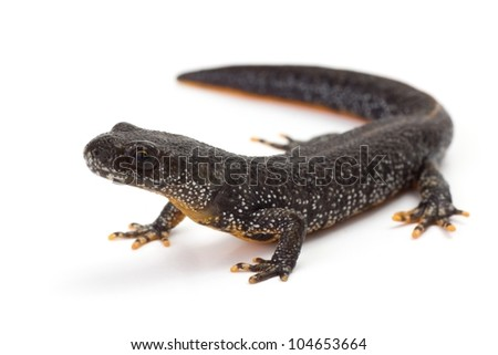 Great Crested Newt with it's head lifted - stock photo