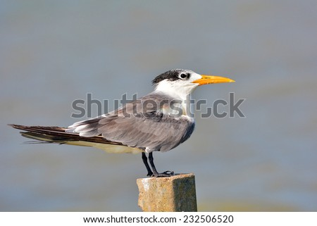 Great Crested Tern bird (Thalasseus bergii) or Swift Tern in nature on Thailand - stock photo