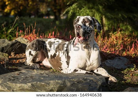 Great Dane - stock photo