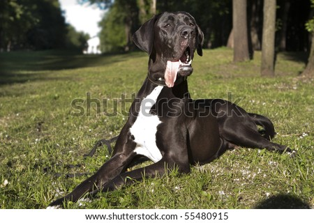 Great Dane black - stock photo