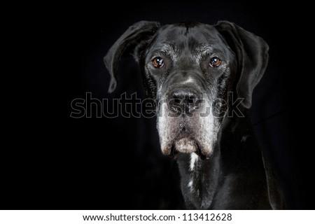 Great Dane Dog - stock photo