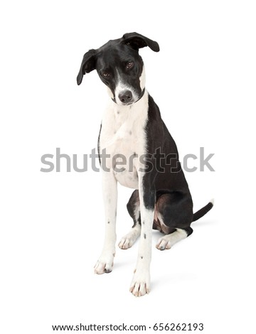 Great Dane Dog Looking Down to White Floor