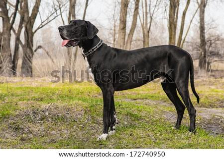 Great Dane dog walking outdoor - stock photo