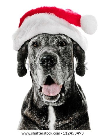 Great Dane Dog with Santa Hat