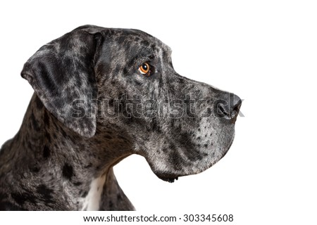 Great Dane grey harlequin merle giant dog with light brown eyes in isolated front of white background looking alert adorable curious watching thinking paying attention with loose lip - stock photo
