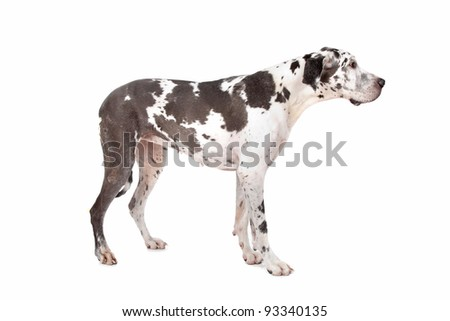 great dane harlequin in front of a white background - stock photo