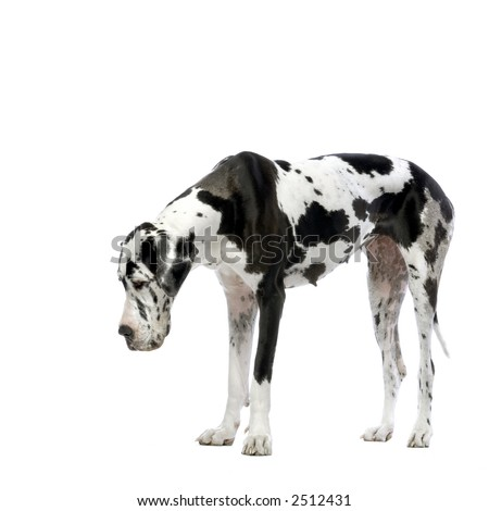 Great Dane HARLEQUIN looking down in front of white background