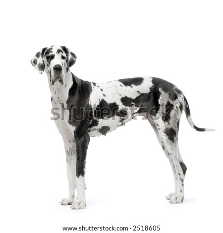 Great Dane HARLEQUIN standing in front of white background
