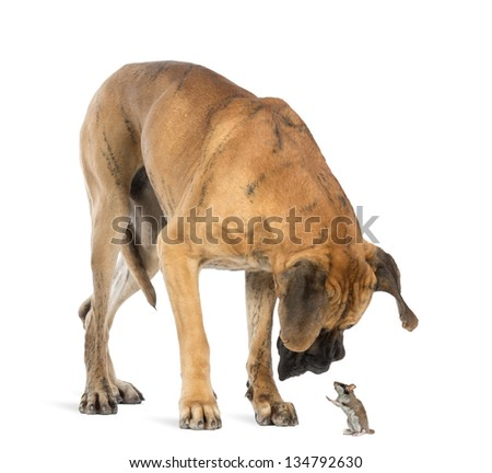 Great Dane looking at a mouse standing up, isolated on white - stock photo