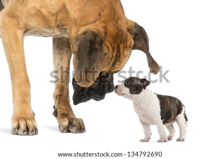 Great Dane looking at an American Staffordshire puppy, isolated on white - stock photo