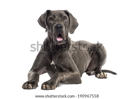 Great Dane lying down (8 months old) - stock photo