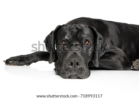 Great Dane lying down on a white background