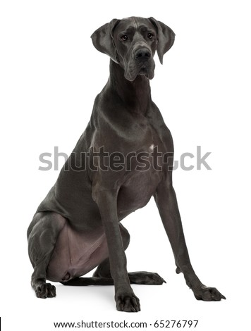 Great Dane, 15 months old, sitting in front of white background - stock photo