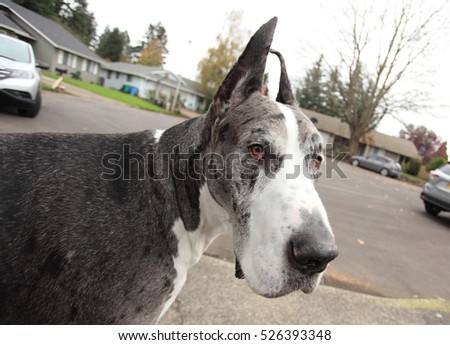 Great Dane outside in a residential area.