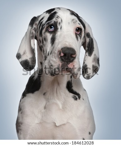 Great Dane puppy, 6 months old, in front of blue background - stock photo