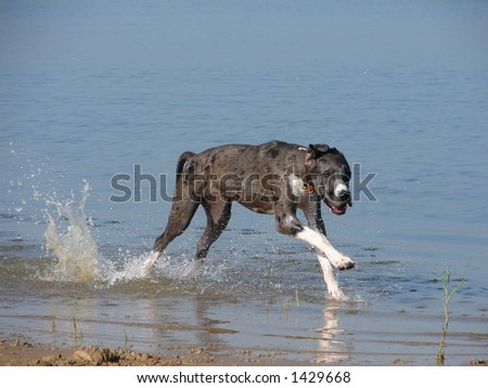 Great Dane Puppy running through water