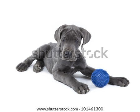 great dane puppy with blue ball, great dane puppy - stock photo