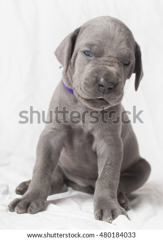 Great Dane purebred puppy look as if it does not believe something