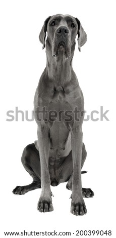 Great Dane sitting in the white studio floor - stock photo