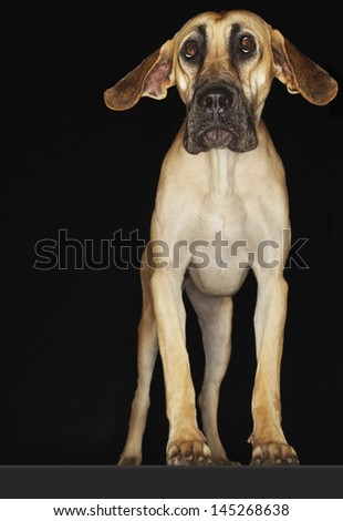 Great Dane standing with ears extended against black background - stock photo