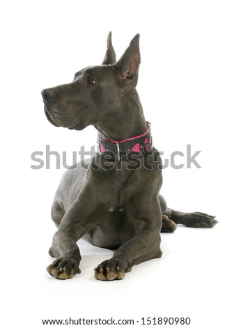 great dane wearing heart collar laying down with reflection on white background - stock photo