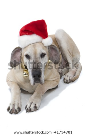 Great Dane With Santa Hat