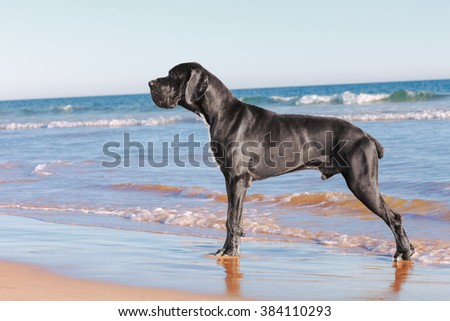 Great danes black dog on the beach at sunset