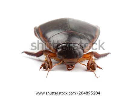 Great diving beetle isolated on white - stock photo