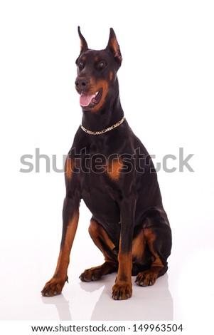 Great doberman dog on white background - stock photo