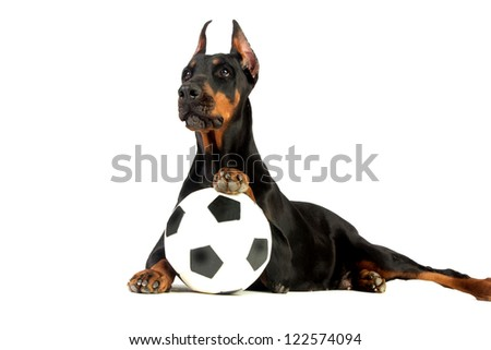 Great doberman dog with ball on white background - stock photo